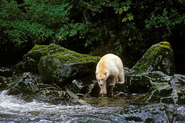 Kermode Black Bear searches along stream for salmon.  British Columbia.