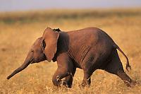 Young african elephant calf (Loxodonta africana).