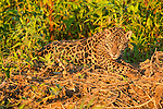A jaguar lays on the bank of the river, sunning on the edge of the jungle near the fork of the Three Brothers River in the Pantanal of Brazil.