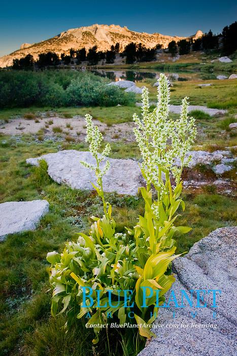 Corn lily blooms near Vogelsang Lake, in shade at sunrise, Yosemite National Park, California, USA