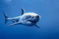 great white shark, Carcharodon carcharias, South Australia, Australia