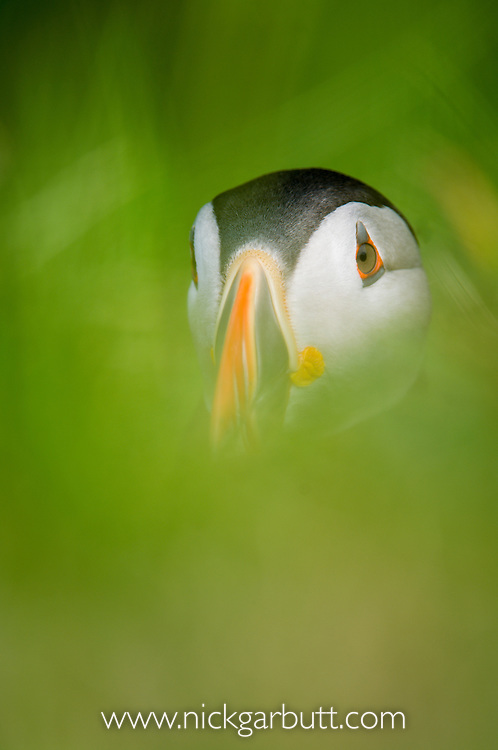 Atlantic Puffin (Fratercula arctica). Treshnish Isles, Isle of Mull, Scotland.