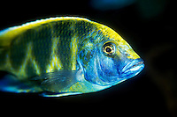 Malawi cichlid found in Lake Malawi in East Africa.  There are two main groups of cichlids in Lake Malawi.  This is a Mbuna, or rock dweller, that spends most of its time rocky habitats.