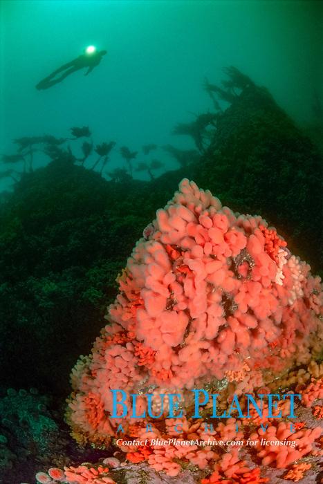 Diver, and dead mens fingers, Alcyonium digitatum, Vettastraumen, Hitra, Sør Trøndelag, Norway, North Atlantic Ocean