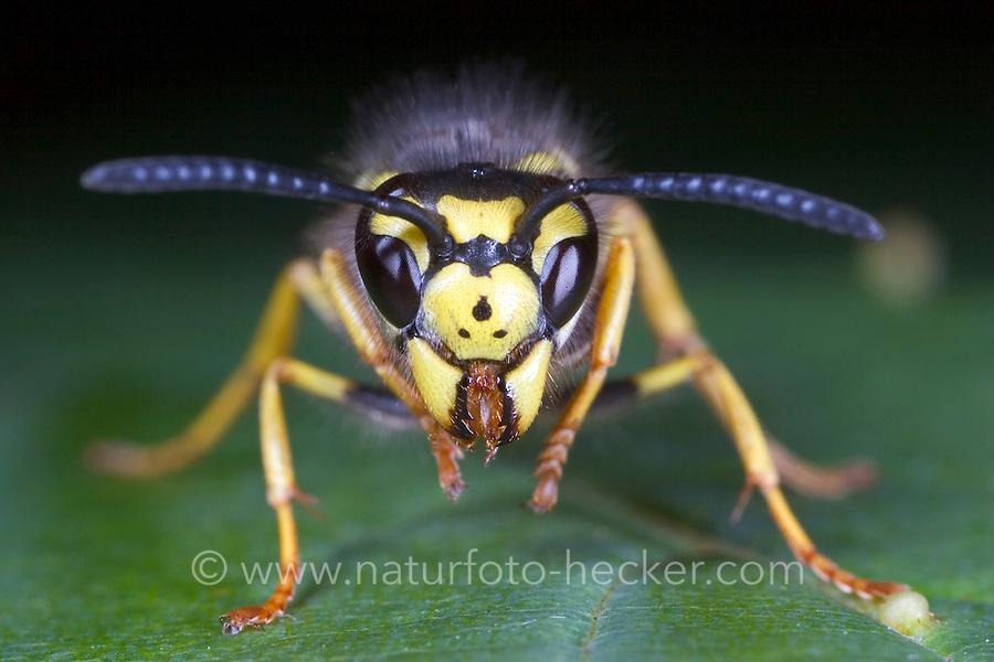 Deutsche Wespe, Portrait, Porträt, beim Putzen, putzt sich, Vespula germanica, Vespa germanica, Paravespula germanica, German wasp, European wasp