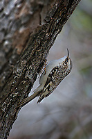Brown Creeper, Inks Lake State Park, Texas
