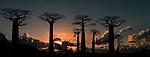 Grandidier's Baobabs (Adansonia grandidieri) at sunset. 'Alle de Baobab' north of Morondava, western Madagascar.
