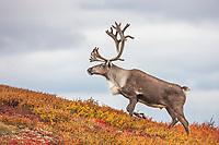Bull caribou in colorful autumn tundra, Denali National Park, Interior, Alaska.