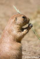 0601-1025  Black-tailed Prairie Dog Eating Prairie Grass, Cynomys ludovicianus  © David Kuhn/Dwight Kuhn Photography