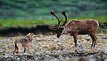 Female gray wolf tests the strength of old Caribou bull, Denali National Park, Alaska, USA