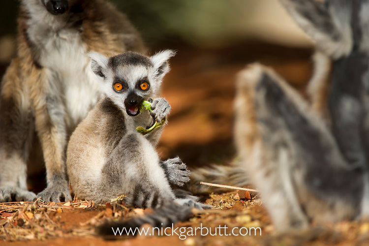 Infant Ring-tailed Lemur (Lemur catta)(6-8 weeks) feeding (eating a leaf) on forest floor. Berenty Private Reserve, southern Madagascar.