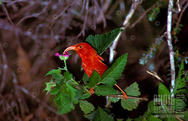 A beautiful red iiwi, or honeycreeper, (species: vestiaria coccinea) native to Hawaii, drinks the nectar from a purple flower in the rainforest.