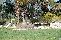 White Heron on Treasure Island Florida, spring 2007