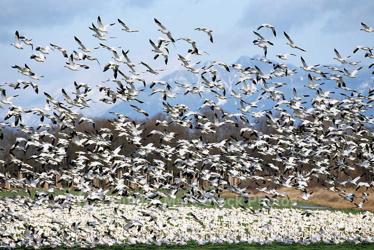 Snow Geese (Chen caerulescens) Migration, Flock of Migrating Birds at Reifel Bird Sanctuary, Delta, BC, Fraser Valley, British Columbia, Canada