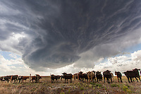Rotating Severe Thunderstorm Above a Herd of Cattle near Sitka, KS, May 8, 2013