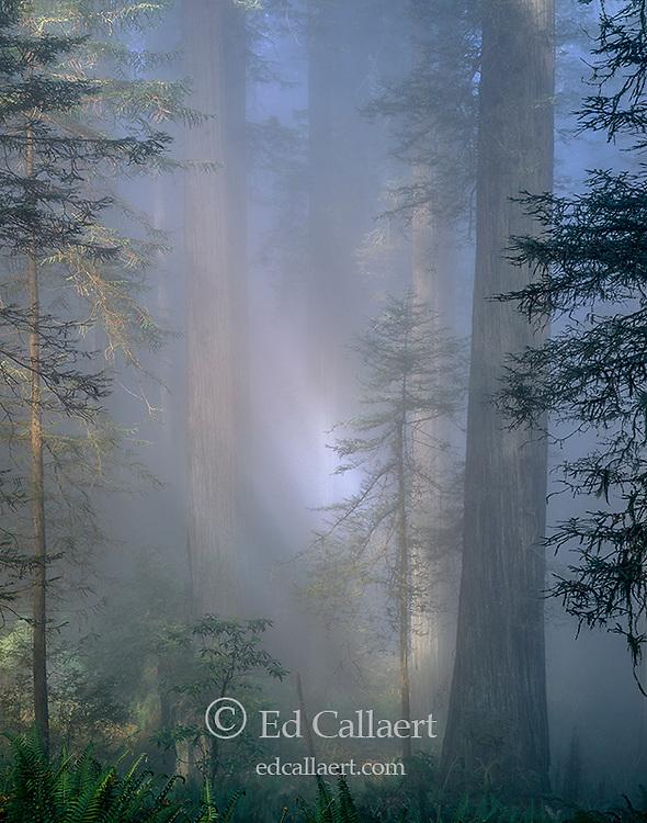 Coastal Fog, Redwoods, Redwood National Park, Del Norte Co., California