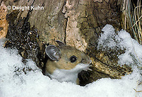 MU12-013z   White-Footed Mouse - Peromyscus leucopus
