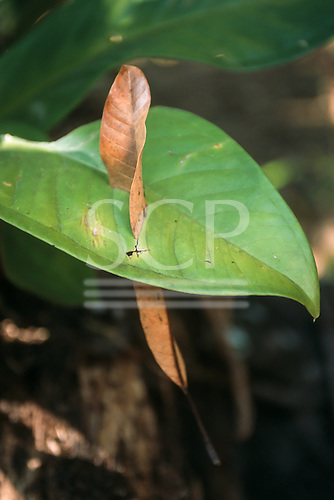 Osa Peninsula, Costa Rica. Rainforest leaf with a dead leaf slicing through it.