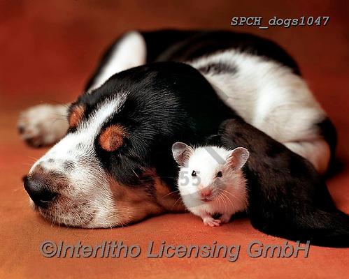 Xavier, ANIMALS, REALISTISCHE TIERE, ANIMALES REALISTICOS, dogs, photos+++++,SPCHDOGS1047,#a#, EVERYDAY