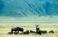 TANZANIA Nationalpark, Ngorongoro Crater, wildebeest / TANSANIA Nationalpark Ngorongoro Crater , Gnu