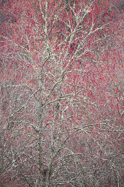 Spring maple in bloom, Blue Ridge Parkway, VA