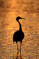 A Sandhill Crane is silhouetted against the coppery/bronze surface of a pond near sunset at Bosque National Wildlife Refuge, San Antonio, New Mexico.