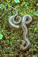 1R01-004a  Red-bellied Snake - Storeria occipitomaculata