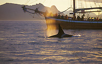 Killer whale Orcinus Orca. Adult male surfacing near wooden sailing ship wha. Tysfjord, Arctic Norway