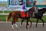 NEW ORLEANS, LA - FEBRUARY 20:<br /> Its All Revelant #7, ridden by Joe Bravo in the Risen Star Stakes post parade for the Louisiana Derby Preview Race Day at Fairgrounds Race Course on February 20,2016 in New Orleans, Louisiana. (Photo by Steve Dalmado/Eclipse Sportswire/Getty Images)