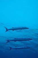 Three Great Barracuda (Sphyraena barracuda) swimming in blue waters, Madivaru, Rasdhoo Atoll, Maldives.