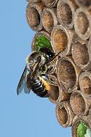 Bunte Blattschneiderbiene, Weibchen mit Blattstückchen an Niströhre, Wildbienen-Nisthilfe, Bunte Blattschneider-Biene, Blattschneiderbiene, Blattschneiderbienen, Megachile versicolor, Brown-footed Leafcutter Bee, female, Leafcutter Bee, Leafcutter Bees, Megachilidae, Pappröhrchen