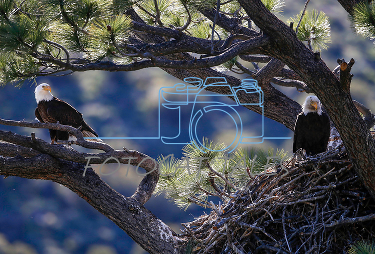 Bald eagle nest near Markleeville, Calif., on Thursday, May 28, 2020. <br /> Photo by Cathleen Allison