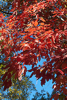Oxydendron arboreum sourwood tree in autumn fall foliage color, macro closeup of leaf leaves