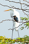 The perfect line up.  A kingfisher fits within the shape of an egret perched behind by Arun Kumar