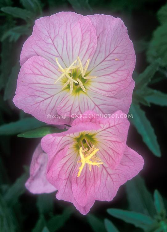 Closeup of pink flowers of Oenothera speciosa