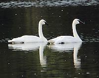Adult trumpeter swan pair