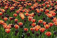 Hollande, région des champs de fleurs, Lisse, Keukenhof, massif de tulipes // Flowerbed of tulips // Flowerbed of tulips.