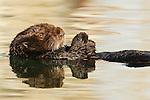 Sea Otter (Enhydra lutris), Elkhorn Slough, Monterey Bay, California