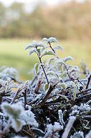Frost on Hawthorn hedge, Lancashire.