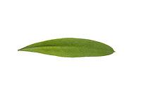 Waldmeister, Wald-Meister, Galium odoratum, Sweet Woodruff, Aspérule odorante. Blatt, Blätter, leaf, leaves