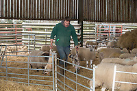 2-3-2021 A shepherd moves new born lambs <br />  ©Tim Scrivener Photographer 07850 303986<br />      ....Covering Agriculture In The UK....