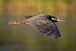 Damon, Texas; a yellow-crowned night-heron flying over the surface of a lake at dusk