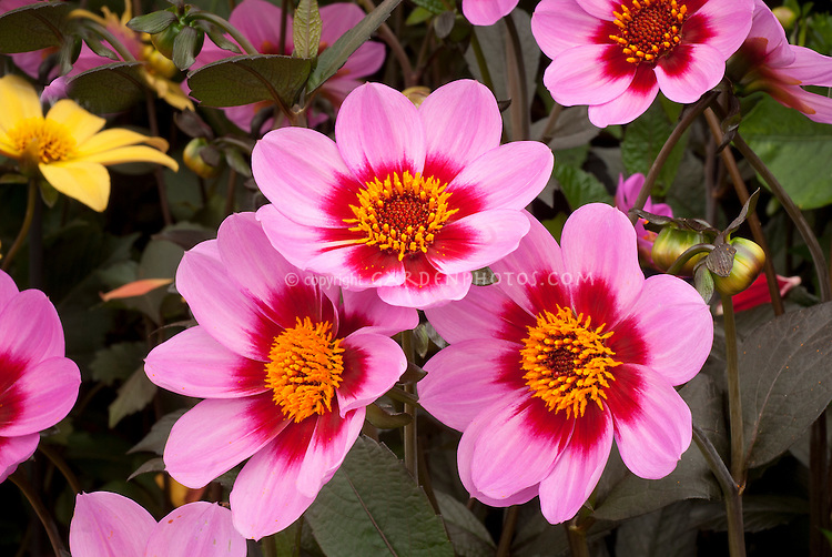 Dahlia 'Happy Single Wink' pink and red flowers  with dark black foliage, single type