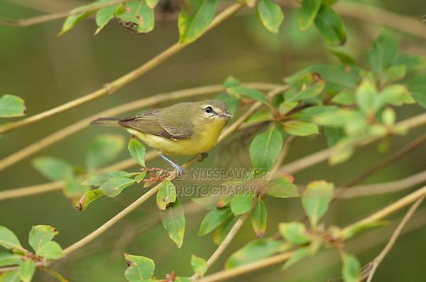 Philadelphia Vireo (Vireo philadelphicus), adult, South Padre Island, Texas, USA
