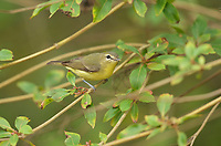 Philadelphia Vireo (Vireo philadelphicus), adult, South Padre Island, Texas, USA