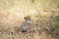 A cheetah camouflaged in the Serengetti plains, Tanzania.