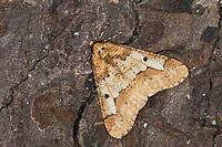 Großer Frostspanner, Männchen, Erannis defoliaria, Phalaena defoliaria, Hybernia defoliaria, Mottled Umber, male, L'Hibernie défeuillante, Spanner, Spannerraupe, Geometridae, looper, loopers, geometer moths, geometer moth