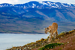 Mountain Lion (Puma concolor) female and mountains, Torres del Paine National Park, Patagonia, Chile