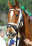 10 March 13: Cure for Sale prior to the 12th running of the grade 3 Hillsborough Stakes for fillies and mares three years old and upward at Tampa Bay Downs in Tampa, Florida.