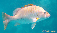 0115-1203  Dog Snapper (Dogtooth Snapper) in Caribbean Reef, Gamefish, Lutjanus jocu  © David Kuhn/Dwight Kuhn Photography